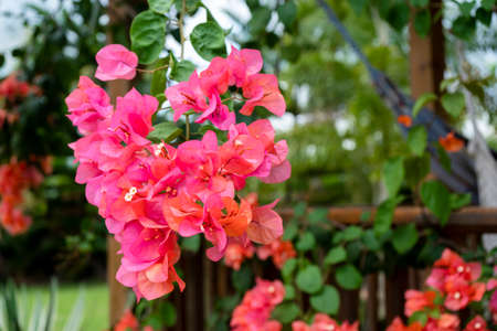 Bougainvillea is a genus of thorny ornamental vines, bushes, and trees belonging to the four o clock family, Nyctaginaceae Imagens