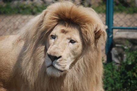lion king: white lion portrait