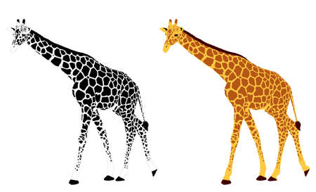 detailed illustration of giraffe  Vector