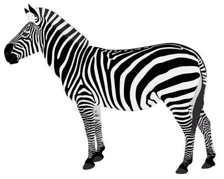 zebra skin: detailed illustration of zebra - vector
