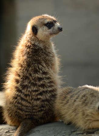 single animal: meerkat sitting Stock Photo
