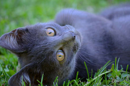 beautiful kitten lying and looking direct to camera on the grass, soft focus