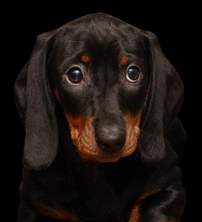 dachshund puppy on the black background