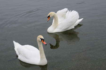 two beautiful swans floating on the lake