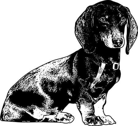 dachshund dog sketch - vector illustration