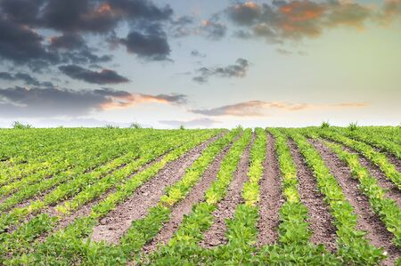 monoculture: Soy field with rows of soy bean plants in sunset Stock Photo