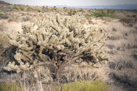 cholla: Buckhorn Cholla Cactus in Mohave Desert, southeastern California and southern Nevada.