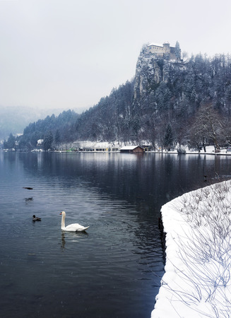 Swan Swimming on Winter Morning at Famous Bled Lake National Park Slovenia