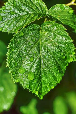 raspberry leaf after the rain