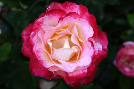 isolated rose flower 免版税图像