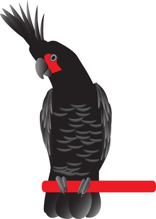 cockatoo: black palm cockatoo Illustration