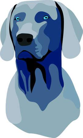 pointer dog: wiemar dog portrait