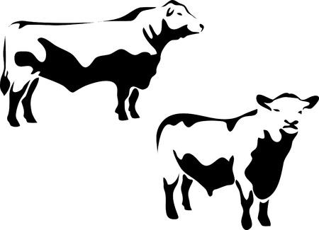 charnu: Aberdeen angus Bull.