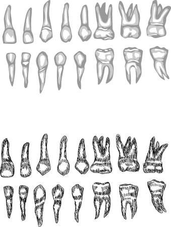 dentition: complete dentition Illustration