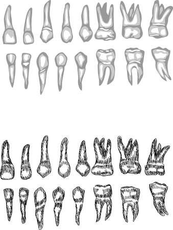 dentition: dentatura completa
