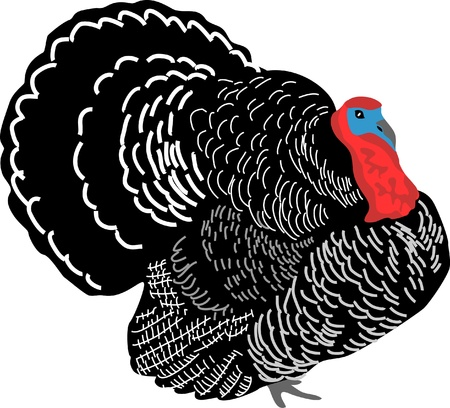 wild turkey Stock Vector - 13318729