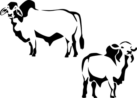 brahman and zebu cattle Illustration