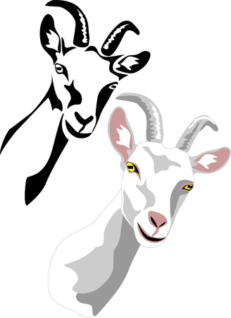 queso de cabra: la cabeza de la cabra blanca Vectores