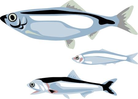 poissons hareng, sprat et anchois
