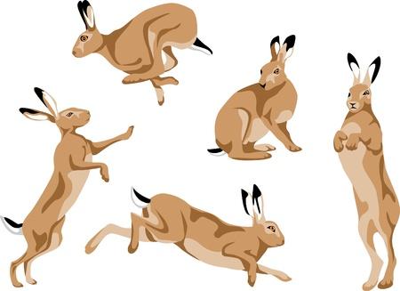 hare: liebre europea Vectores