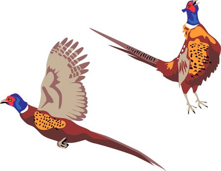 pheasant: ring necked pheasant flying and crowing Illustration