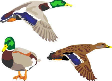 flying widgeon Vector
