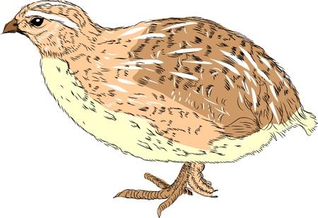 quail Stock Vector - 16493156