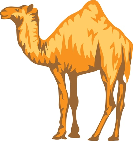nomadic: camel Illustration