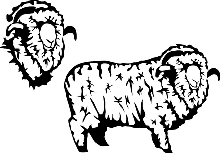 rams: merino sheep