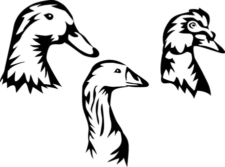 waterfowl: waterfowl - duck, goose, muscovy duck Illustration