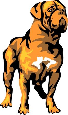 bordeaux mastiff: dogue de bordeaux