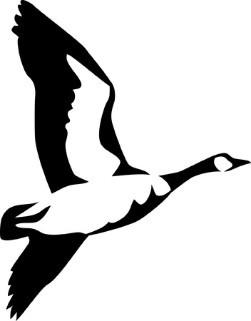 waterfowl: flying canadian goose