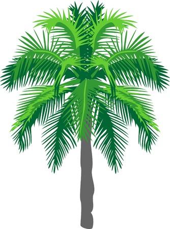 subtropical: palm tree Illustration