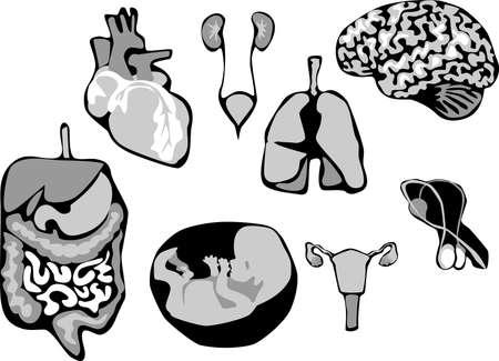 testes: human viscera Illustration