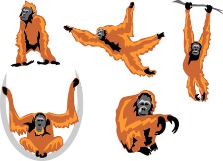 hominid: orangutan Illustration