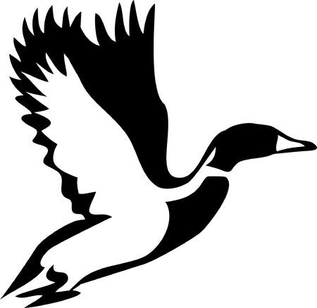 pajaro: vuelo ánade silbón Vectores