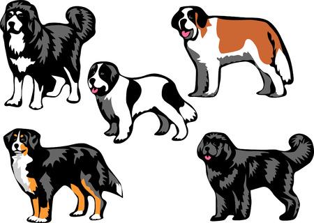bernese dog: molosser dogs