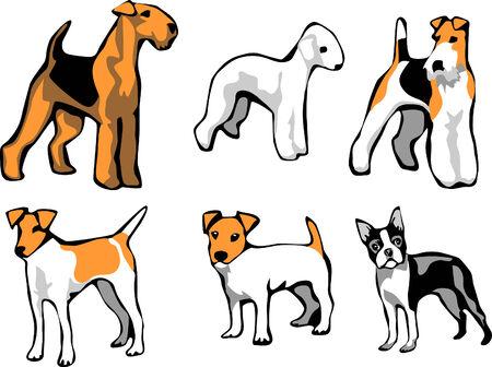 boston terrier: terriers