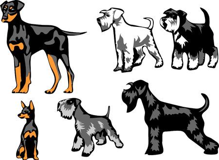 miniature breed: pinscher y schnauzer Vectores