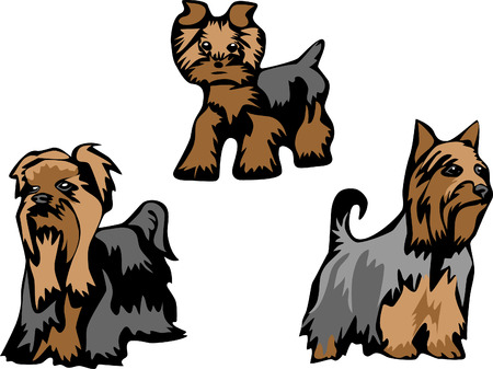 silky: yorkshire and silky terrier