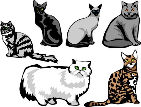 blue siamese cat: cat breeds