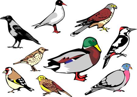 goldfinch: common european birds