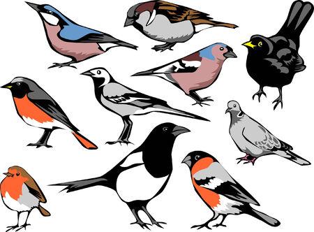 passerine: european common birds Illustration