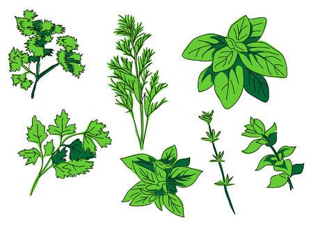 oregano: herbs - spice