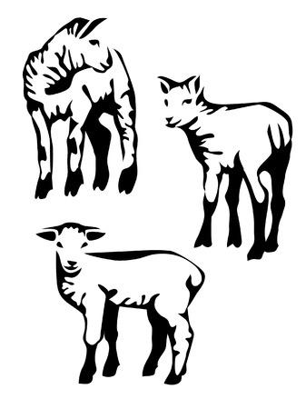 sheep wool: lamb