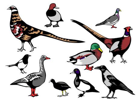 pheasant: european birds