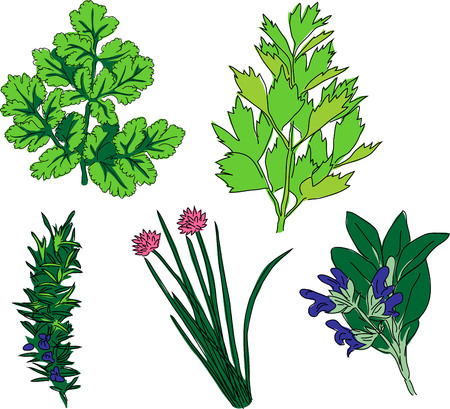 chives: Herbal spices - coriander, lovage, rosemary, chives, sage Illustration