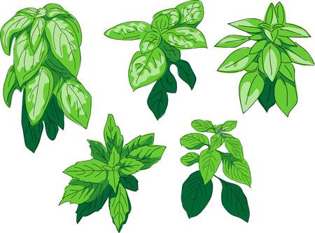 thai herb: Basil species - sweet, lemon, tree, african