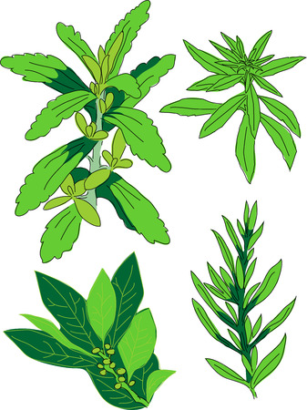 tarragon: Stevia, lemon verbena, lay leaf, tarragon Illustration