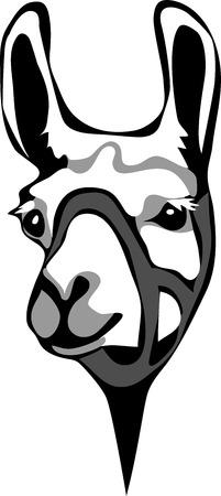 Llama with halter - greyscale portrait